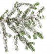 Spruce branch with snow  — Stock Photo