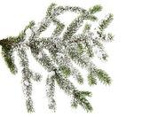 Gran gren med snö — Stockfoto