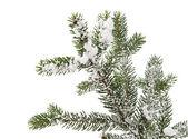 ель филиал со снегом — Стоковое фото