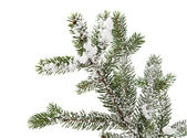 Spruce branch with snow — Stok fotoğraf