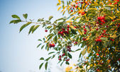 Cherry branch with berries — Stock Photo