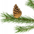 Pine branch — Stock Photo #27666365