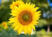 Sunflowers — Stock Photo