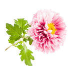 Beautiful chrysanthemum flower — Stock Photo