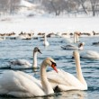 Swans on the river — Stock Photo