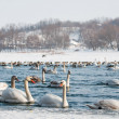Swans on the river — Stock Photo #28143371