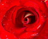 Beautiful close up red rose — Stock Photo