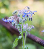 Blue borage, star flower — Stock Photo
