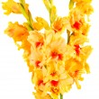 Yellow Gladiolus — Stock Photo