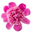 Peony flower isolated — Photo