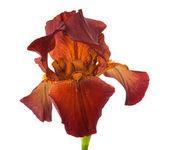Iris flower isolated — Stock Photo