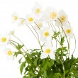 White flower anemone Dubravnaya isolated — Stock Photo