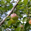 Apples growing — Foto Stock
