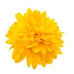 Yellow chrysanthemum isolated — Stock Photo #29643005