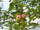 Apples growing — Stock Photo