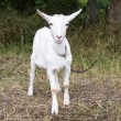 White goat grazes — Stock Photo