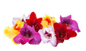 Gladiolus flowers isolated — Stock Photo