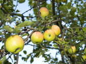 Apples growing — Stock Photo