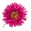Pink aster isolated — Stock Photo #30300697