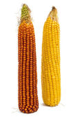 Corn isolated — Stock Photo