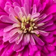 Zinnia macro — Stock Photo
