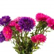 Stock Photo: Aster isolated