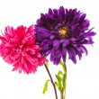 Aster isolated — Stockfoto