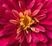 Zinnia isolated — Stock Photo