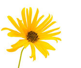 Yellow flower isolated — Stock Photo