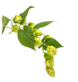 Hop isolated — Stock Photo