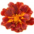 Marigold isolated  — Stock Photo