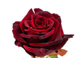 Dark red rose — Stock Photo