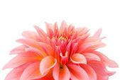 Pink dahlia isolated — Stock Photo