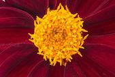 Dahlia bloom — Stock Photo