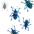 Stock Photo: Tropical beetle (Curculionoidae).