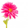 Pink aster isolated — Stock Photo #32633385