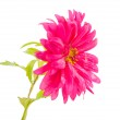 Pink aster isolated — Stock Photo #32633445