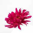 Pink aster isolated — Stock Photo #32634583