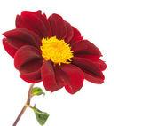 Dahlia flower isolated — Stock Photo