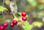Hawthorn fruits — Stock Photo