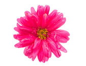 Pink aster isolated — Stock Photo
