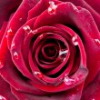 Beautiful red rose with drops close up — ストック写真