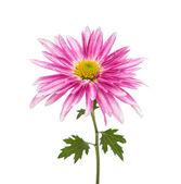 Chrysanthemum isolated — Stock Photo