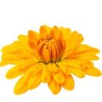 Yellow chrysanthemum isolated — Stock Photo #34829899