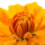 Yellow chrysanthemum isolated — Stock Photo #34830655