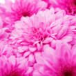 Stock Photo: Pink chrysanthemums background