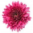Stock Photo: Magentchrysanthemum
