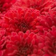 Red chrysanthemums — 图库照片