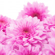 Pink chrysanthemums background — Stock Photo