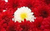 Red chrysanthemums — Stock Photo